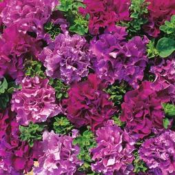 Petunia grandiflora 'Double Cascade Burgundy Plum Vein' F1 Hybrid