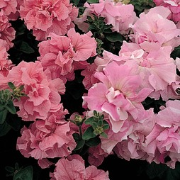 Petunia grandiflora 'Cascade Pink Orchid Mist' F1 Hybrid