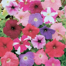 Petunia 'Rainbow Mixed' Hybrid