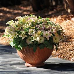 Petunia x hybrida 'Sophistica Antique Shades' F1 Hybrid