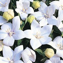 Platycodon grandiflora 'Fuji White'