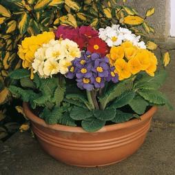 Polyanthus 'Large Flowered Mixed'