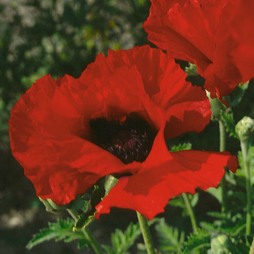 Poppy 'Brilliant'