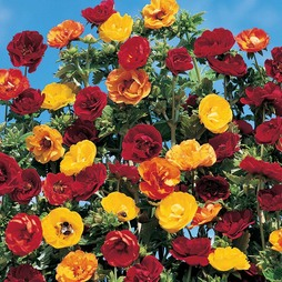 Potentilla atrosanguinea 'Fireball Mixed'