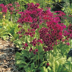 Primula japonica 'Mixed'