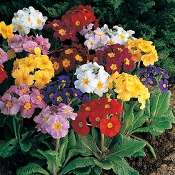 Polyanthus 'Pacific Giants Mixed'