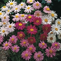 Pyrethrum 'T&M Superb Mixture'
