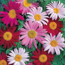 Pyrethrum 'T&M Single Mixed'