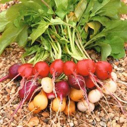 Radish 'Rainbow Mixed'