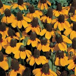 Rudbeckia amplexicaulis