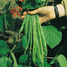 Runner Bean 'Red Rum'