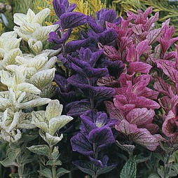 Salvia horminum 'Claryssa Mixed'