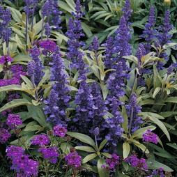 Salvia farinacea 'Victoria'