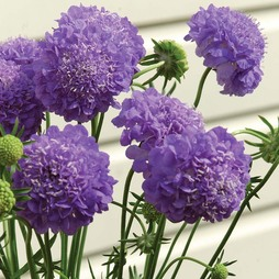 Scabious 'Oxford Blue'