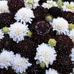 Scabious 'Ebony and Ivory'