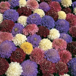 Scabious 'Dwarf Double Mixed'