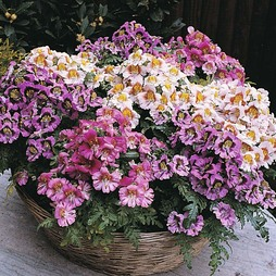 Schizanthus 'Dwarf Bouquet Mixed'