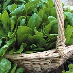 Spinach 'Medania'