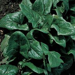 Spinach 'Tetona' F1 Hybrid