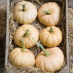 Squash 'Autumn Crown' (Winter)