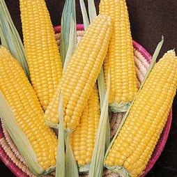 Sweetcorn 'Ovation' F1 Hybrid (Supersweet) - RHS endorsed vegetable seeds