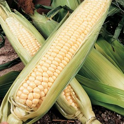 Sweetcorn 'Northern Extra Sweet' F1 Hybrid (Supersweet)