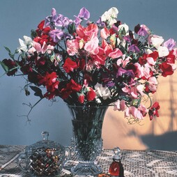 Sweet Pea 'Antique Fantasy Mixed'