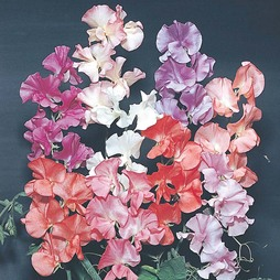 Sweet Pea 'T&M Prize Strain Mixed'