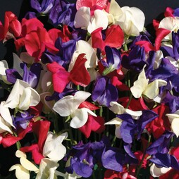 Sweet Pea 'Flying the Flag'