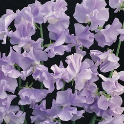 Sweet Pea 'Chatsworth'