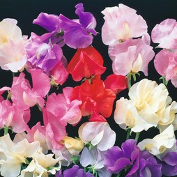 Sweet Pea 'Bright and Breezy'