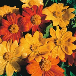 Tithonia rotundifolia 'Arcadian Blend'
