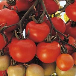 Tomato 'Ailsa Craig'