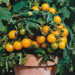Tomato 'Balconi Yellow'