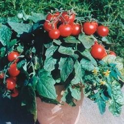 Tomato 'Balconi Red'