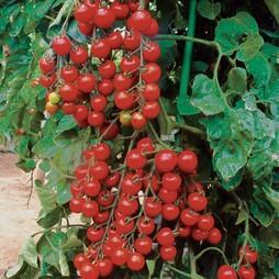 Tomato 'Suncherry Premium' F1 Hybrid