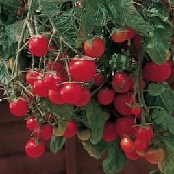 Tomato 'Gartenperle'