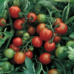 Tomato 'Red Alert'