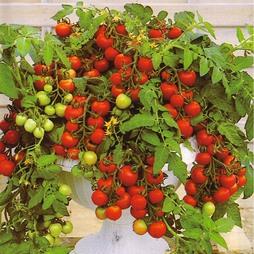Tomato 'Maskotka'