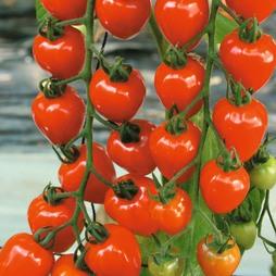 Tomato 'Berry' F1 Hybrid