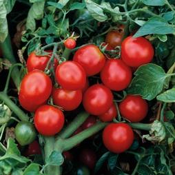 Tomato 'The Amateur' - Heritage