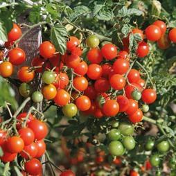 Tomato 'Sweet Baby'