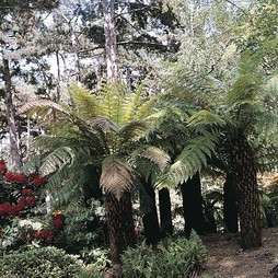 Tree Fern 'House & Garden Mixed'