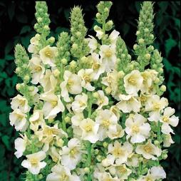 Verbascum x hybrida 'Snow Maiden'