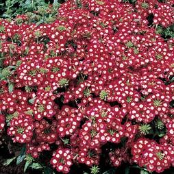 Verbena x hybrida 'St George'