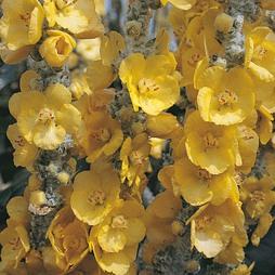 Verbascum bombyciferum 'Silver Lining'