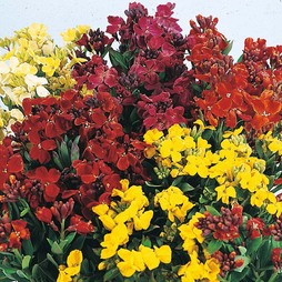 Wallflower 'Bedding Mixed'