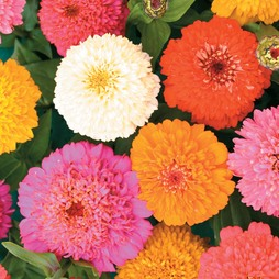 Zinnia elegans 'Candy Cane Mixed'