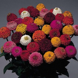 Zinnia elegans 'Lilliput Mix'