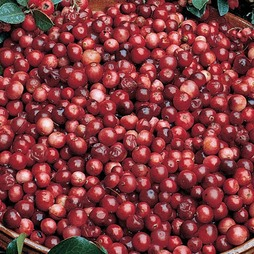 Cranberry 'Pilgrim'